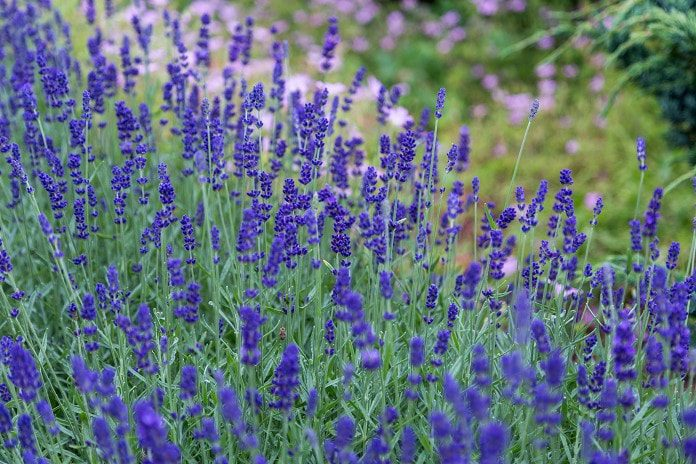 Best Lavender Essential Oil Uses